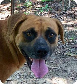 Shepherd (Unknown Type)/Mountain Cur Mix Dog for adoption in Allentown, Pennsylvania - Maggie