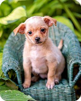Chihuahua/Pomeranian Mix Puppy for adoption in Cincinnati, Ohio - Mardi