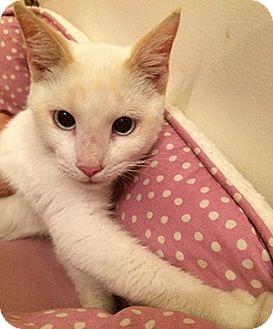 Siamese Kitten for adoption in Metairie, Louisiana - Prince