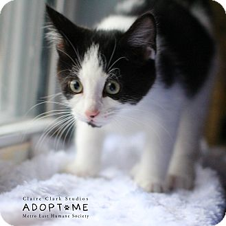 Domestic Shorthair Cat for adoption in Edwardsville, Illinois - Tater