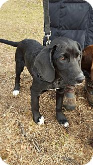 Labrador Retriever/Beagle Mix Puppy for adoption in West Milford, New Jersey - CHASE