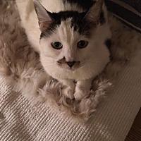 Adopt A Pet :: Alicia - Declaw - Fairfax, VA
