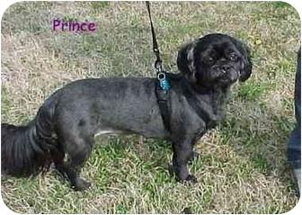 Shih Tzu Dog for adoption in Dayton, Ohio - Prince
