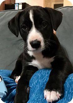 Labrador Retriever/Border Collie Mix Puppy for adoption in Allen, Texas - Willow