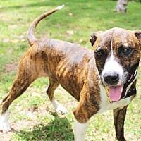 Adopt A Pet :: Scarlett - Boca Raton, FL