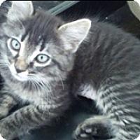 Adopt A Pet :: Frappuccino - Scottsdale, AZ