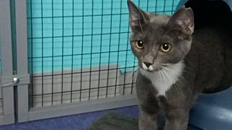 Domestic Shorthair Cat for adoption in Fort Lauderdale, Florida - Mischa