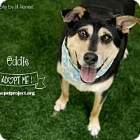 Adopt A Pet :: Eddie - Kansas City, MO