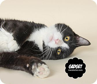 Domestic Shorthair Cat for adoption in Wyandotte, Michigan - Gadget