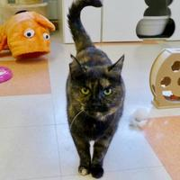 Domestic Shorthair/Domestic Shorthair Mix Cat for adoption in Westampton, New Jersey - Janey
