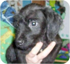Dachshund Mix Puppy for adoption in Murphysboro, Illinois - Mex