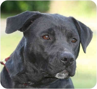 Labrador Retriever/Pit Bull Terrier Mix Dog for adoption in kennebunkport, Maine - Ariel-pending
