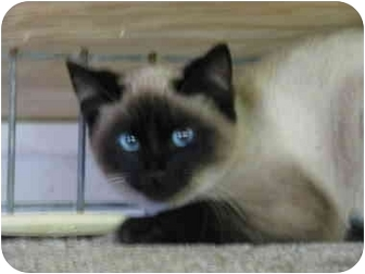 Siamese Kitten for adoption in Drumright, Oklahoma - Chong