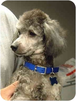 Poodle (Miniature) Puppy for adoption in San Diego (all areas), California - Buddy-I'VE BEEN ADOPTED!!!