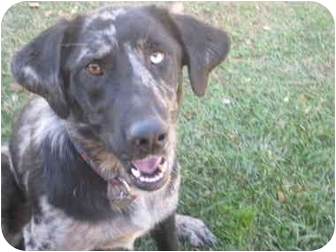 Australian Shepherd/Labrador Retriever Mix Dog for adoption in Bellflower, California - Stella