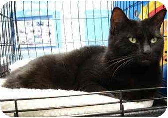 Domestic Mediumhair Cat for adoption in Sterling Heights, Michigan - Raven