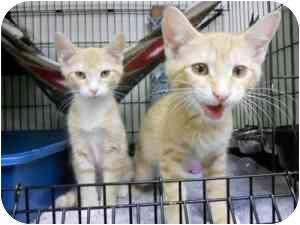 Domestic Shorthair Kitten for adoption in Milwaukee, Wisconsin - Pecan