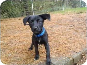 Labrador Retriever Mix Puppy for adoption in New Fairfield, Connecticut - Cody