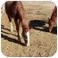 Photo 2 - Standardbred Mix for adoption in Pueblo, Colorado - Romeo