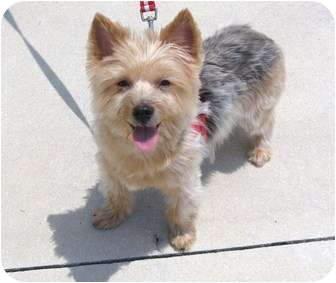 Yorkie, Yorkshire Terrier Dog for adoption in Hardy, Virginia - Portia