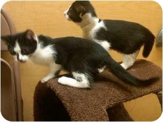 Domestic Shorthair Kitten for adoption in Worcester, Massachusetts - KITTENS