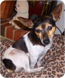 Rat Terrier Mix Dog for adoption in Jacksonville, North Carolina - Merry