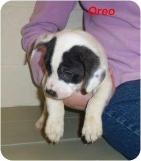 Boxer/Labrador Retriever Mix Puppy for adoption in Slidell, Louisiana - Chey