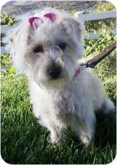 Terrier (Unknown Type, Small)/Poodle (Miniature) Mix Dog for adoption in El Cajon, California - Teripoo