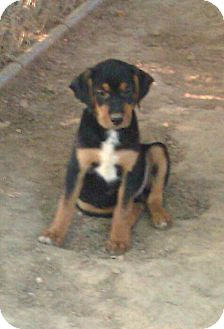 Labrador Retriever Mix Puppy for adoption in Washington, D.C. - Saturday