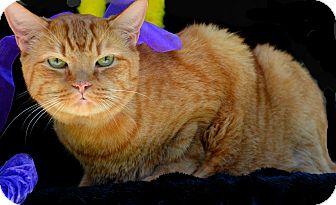 Domestic Mediumhair Cat for adoption in Baton Rouge, Louisiana - Big Daddy