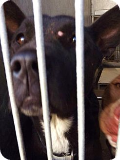 Shepherd (Unknown Type) Mix Dog for adoption in Las Vegas, Nevada - Cinda