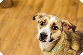 Beagle/German Shepherd Dog Mix Dog for adoption in Lake Odessa, Michigan - Rascal
