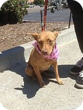 Cardigan Welsh Corgi/Miniature Pinscher Mix Dog for adoption in Santee, California - Taffy