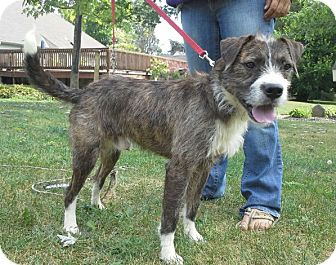 Terrier (Unknown Type, Medium) Mix Dog for adoption in Hainesville, Illinois - Benny
