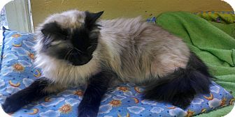 Siamese Cat for adoption in Grand Junction, Colorado - Crystal