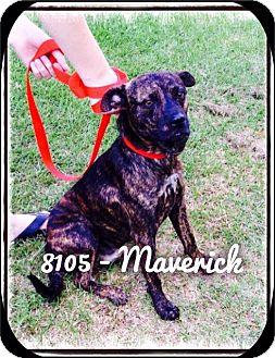 Pit Bull Terrier Mix Dog for adoption in Dillon, South Carolina - Maverick