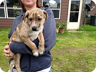 Catahoula Leopard Dog/Boxer Mix Puppy for adoption in Miami, Oklahoma - B/  Luca