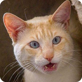 Colorpoint Shorthair Cat for adoption in Port Angeles, Washington - Denver