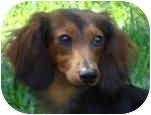 Dachshund Dog for adoption in Colleyville, Texas - Flynn