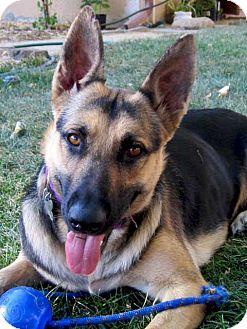 German Shepherd Dog Dog for adoption in Alameda, California - Calla