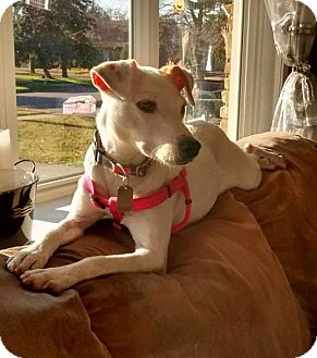 Parson Russell Terrier Dog for adoption in Hanover, Ontario - Mika