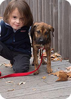 German Shepherd Dog/Labrador Retriever Mix Puppy for adoption in Eden Prairie, Minnesota - August