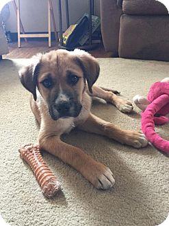 Hound (Unknown Type)/Australian Shepherd Mix Puppy for adoption in Lancaster, Pennsylvania - Bo