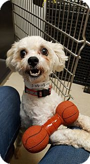 Bichon Frise/Poodle (Miniature) Mix Dog for adoption in Frankfort, Illinois - Tito