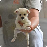 Adopt A Pet :: Hollie - South Dennis, MA