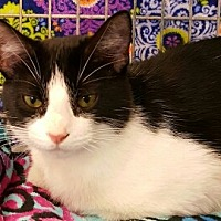 American Shorthair Kitten for adoption in Lyons, Illinois - Feya