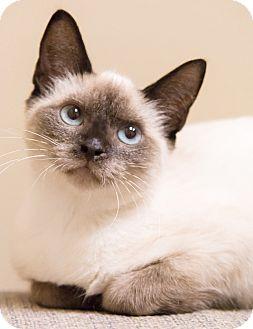 Siamese Cat for adoption in Chicago, Illinois - Koala