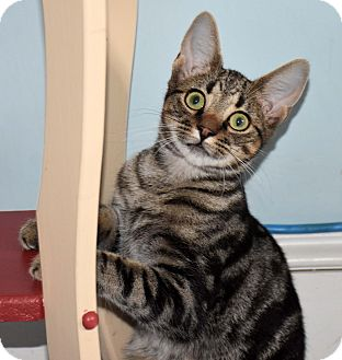 Domestic Shorthair Kitten for adoption in Bristol, Connecticut - Jett