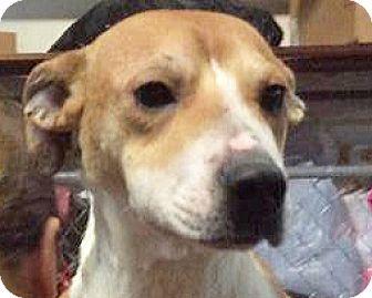 Labrador Retriever/Terrier (Unknown Type, Medium) Mix Dog for adoption in Spokane, Washington - Marissa