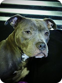 American Staffordshire Terrier/Pit Bull Terrier Mix Dog for adoption in Conroe, Texas - Buster